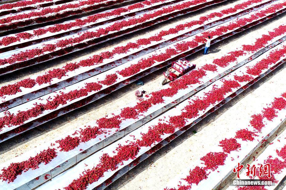 新疆农民晾晒13万亩红辣椒:将销往海外 - 周公乐 - xinhua8848 的博客