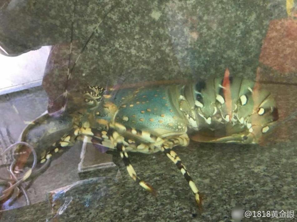 渔民再次捞到中华锦绣龙虾 长一米多 - 周公乐 - xinhua8848 的博客