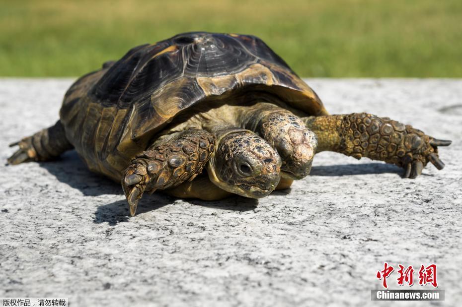 瑞士双头龟杰纳斯迎来20岁生日 - 周公乐 - xinhua8848 的博客