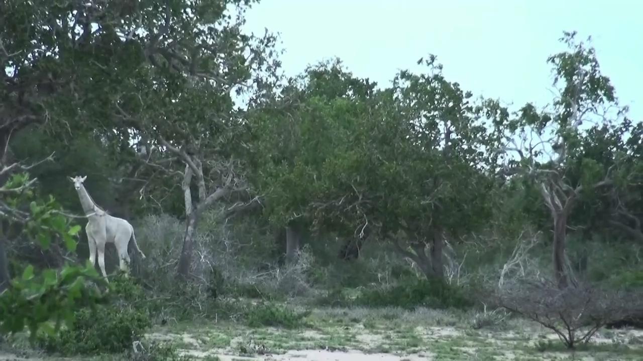 肯尼亚发现纯白色长颈鹿 又仙又美似灵兽 - 周公乐 - xinhua8848 的博客