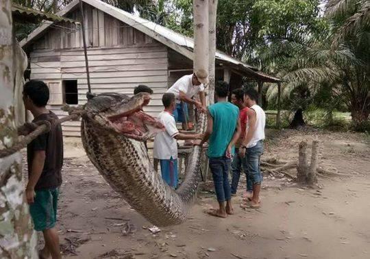 慎入:印尼男子路遇7米巨蟒 上演人蛇大战(组图)