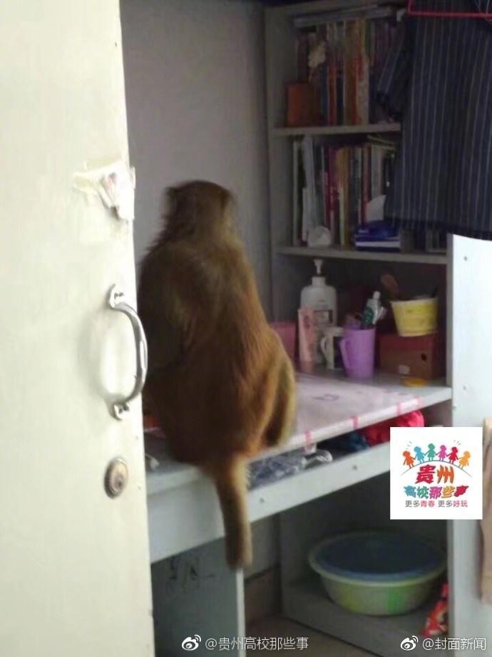 "<p>  10月7日,贵州师范学院的校园里,猴哥突然造访,成功的进入了女生宿舍""作了案""。学校物业:保安已将猴子赶走,提醒同学们不要围观打逗,以免受伤;关好门窗收好瓜果零食。网友:这是猩球崛起么。</p>"