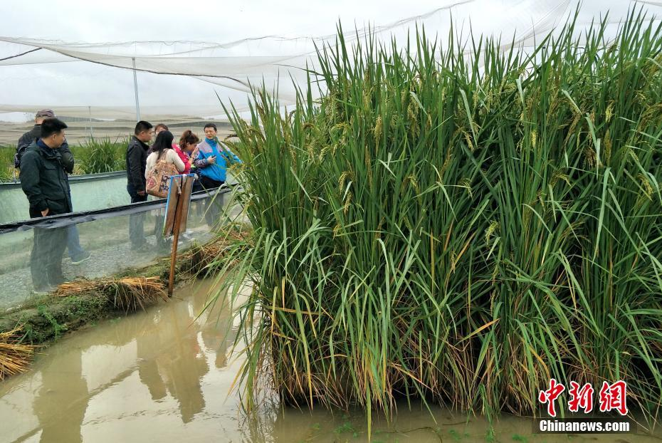 中国团队花十余年育选出最高2.25米巨型稻 - 周公乐 - xinhua8848 的博客