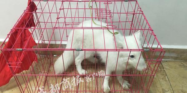 男子宜宾街头卖狗?警察赶到一看竟是只雪狐
