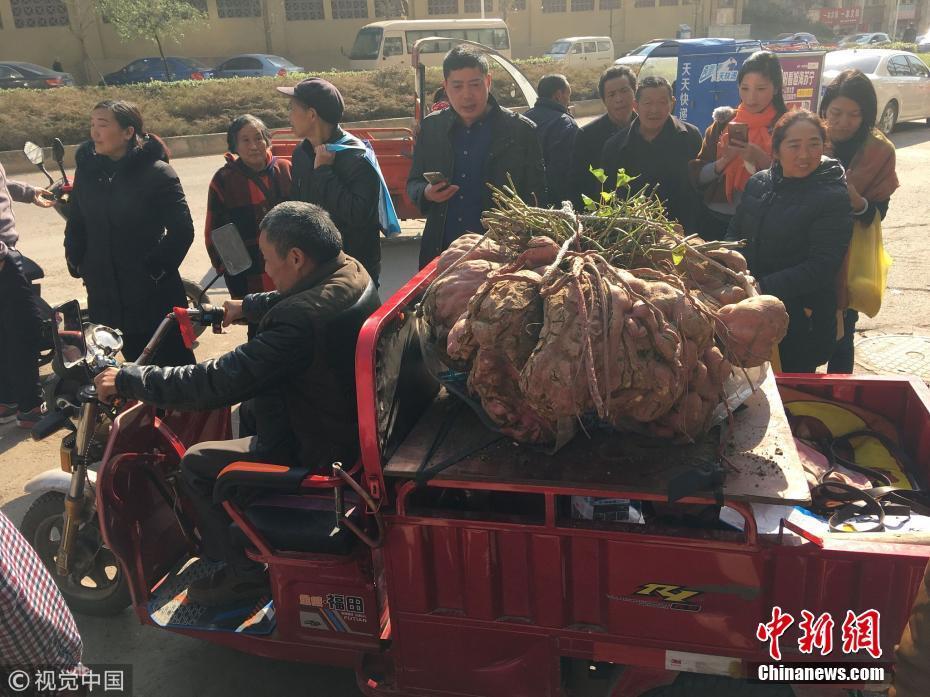 老农种出238斤红薯王 5人合力搬上车 - 周公乐 - xinhua8848 的博客