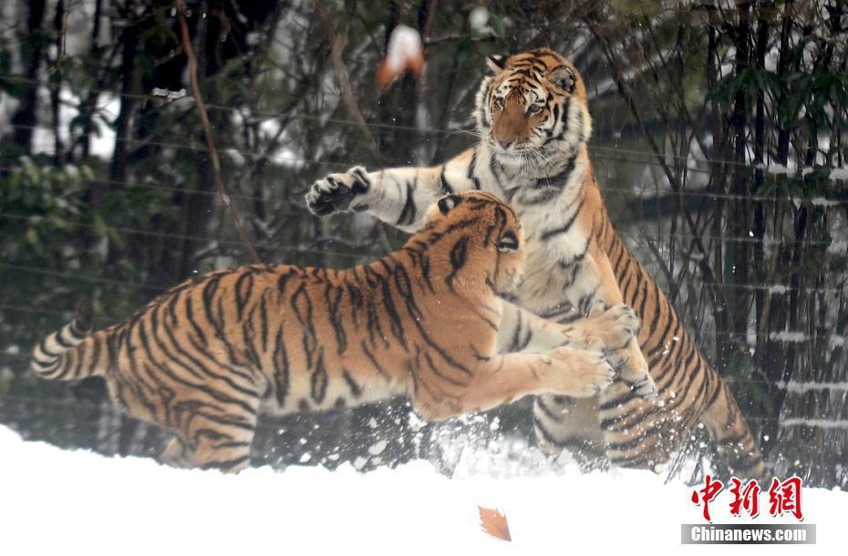 东北虎雪地里撒欢嬉戏 乐享雪趣 - 周公乐 - xinhua8848 的博客