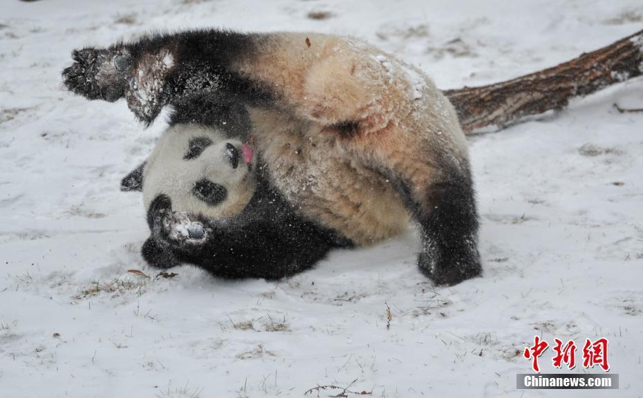 """沈阳森林动物园""""功夫熊猫""""雪中"""