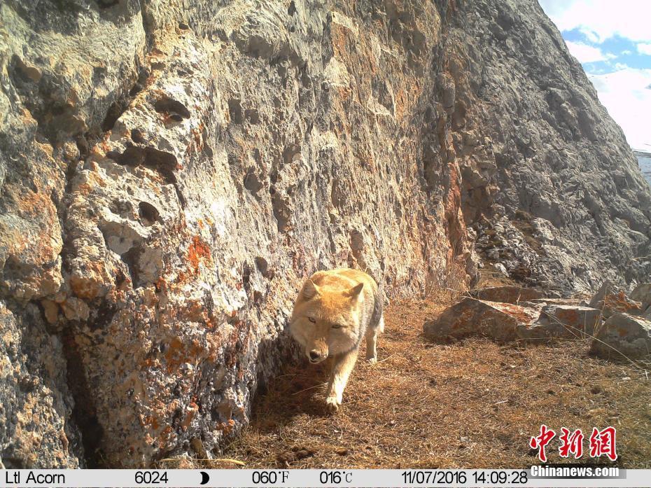 """青海发现野生藏狐冲镜头展现""""迷之微笑"""" ! - 周公乐 - xinhua8848 的博客"""
