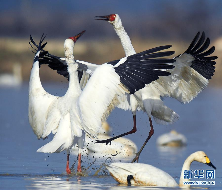 鄱阳湖畔 国家一级保护鸟类白鹤展翅起舞 !!! - 周公乐 - xinhua8848 的博客