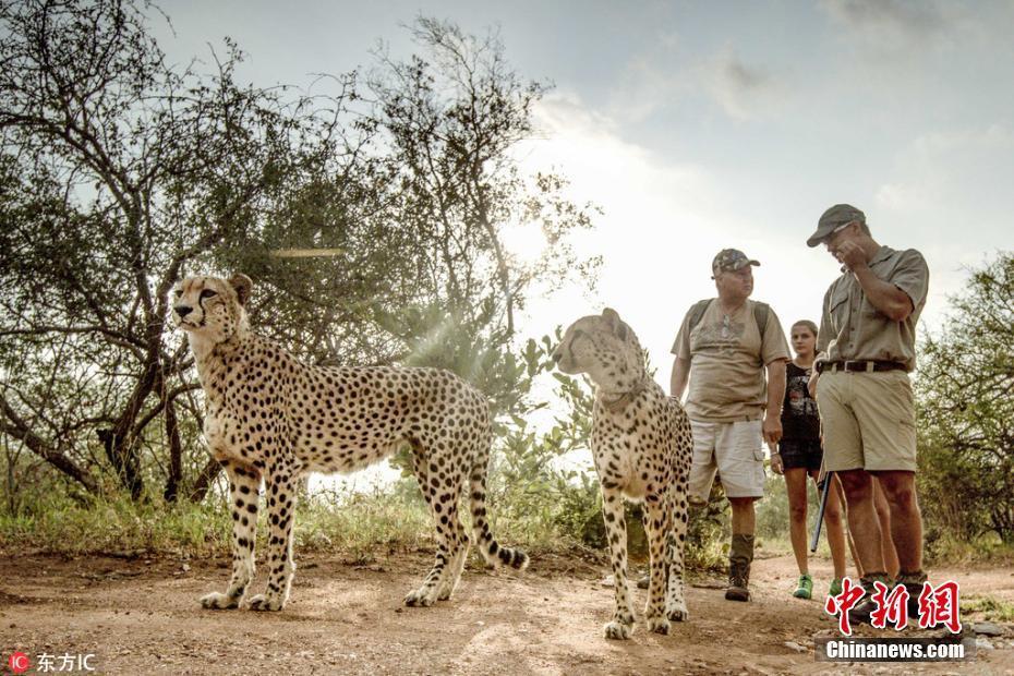 """南非三只猎豹""""兼职""""当导游 带游客散步!!! - 周公乐 - xinhua8848 的博客"""