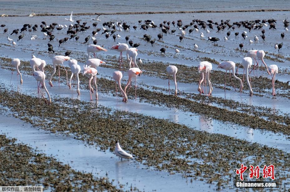 西班牙火烈鸟集体觅食 场面壮观 !!! - 周公乐 - xinhua8848 的博客