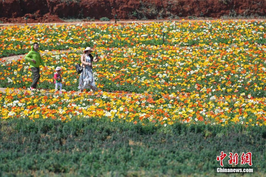 初春昆明鲜花盛开 游客徜徉花丛 - 周公乐 - xinhua8848 的博客