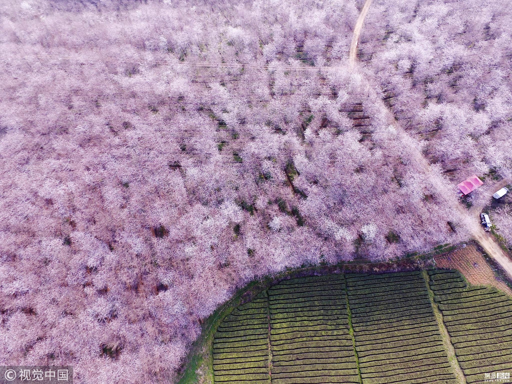 贵阳万亩樱花开放 高空俯瞰美不胜收! - 周公乐 - xinhua8848 的博客
