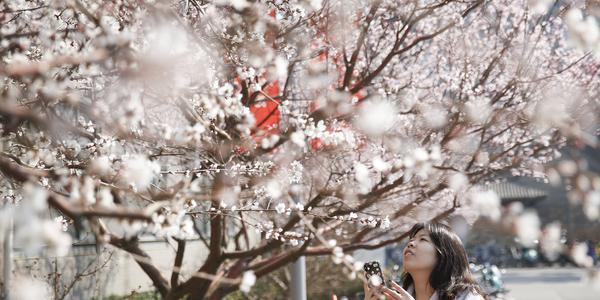 北京大学校园内樱花盛开 吸引同学驻足拍照