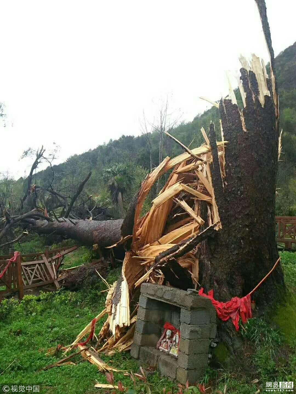 陕西一450岁夫妻古树被大风刮倒! - 周公乐 - xinhua8848 的博客