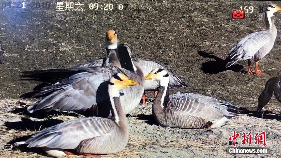 飞得最高的鸟类斑头雁在长江源数量增一倍 ! - 周公乐 - xinhua8848 的博客