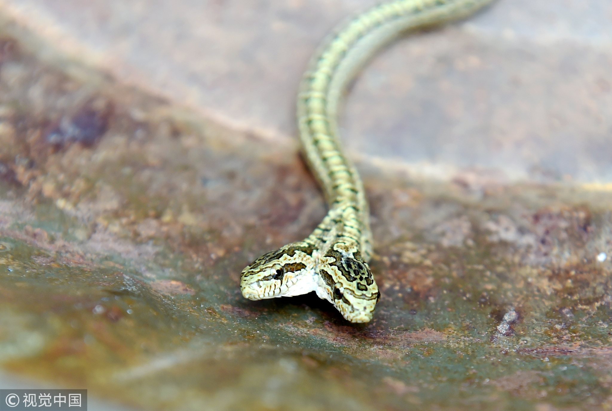 【新鲜事】河南农户家发现双头蛇 疑似基因突变! - 周公乐 - xinhua8848 的博客