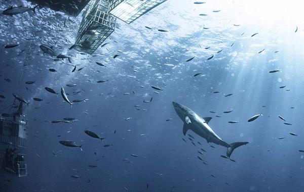 超可爱!墨西哥6米长大白鲨绕研究人员畅游