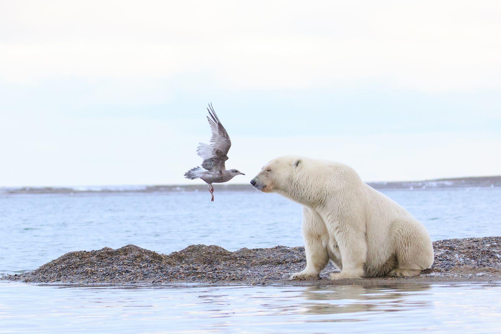 一周外媒动物图集:北极熊接受体检_网易科技整治老虎机图片
