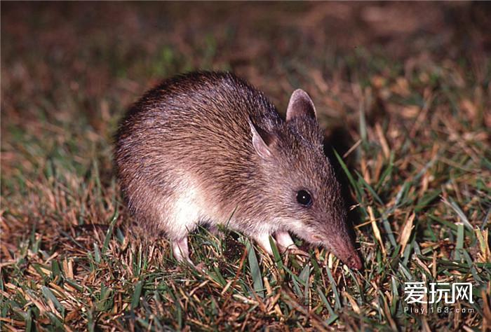 long-nosed-bandicoot