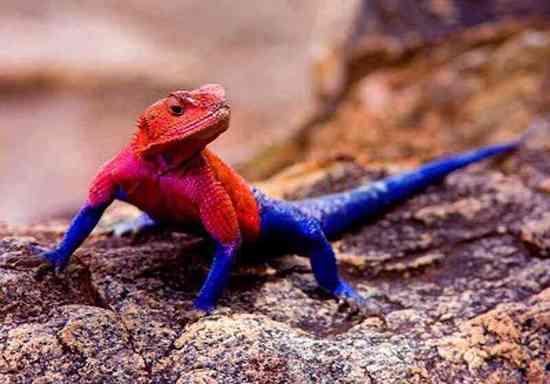 彩虹飞蜥(Rainbow Agamidae),自带鲜艳红蓝配色的鬣蜥,善于攀爬,能在空中滑翔……一个大自然中的蜘蛛侠