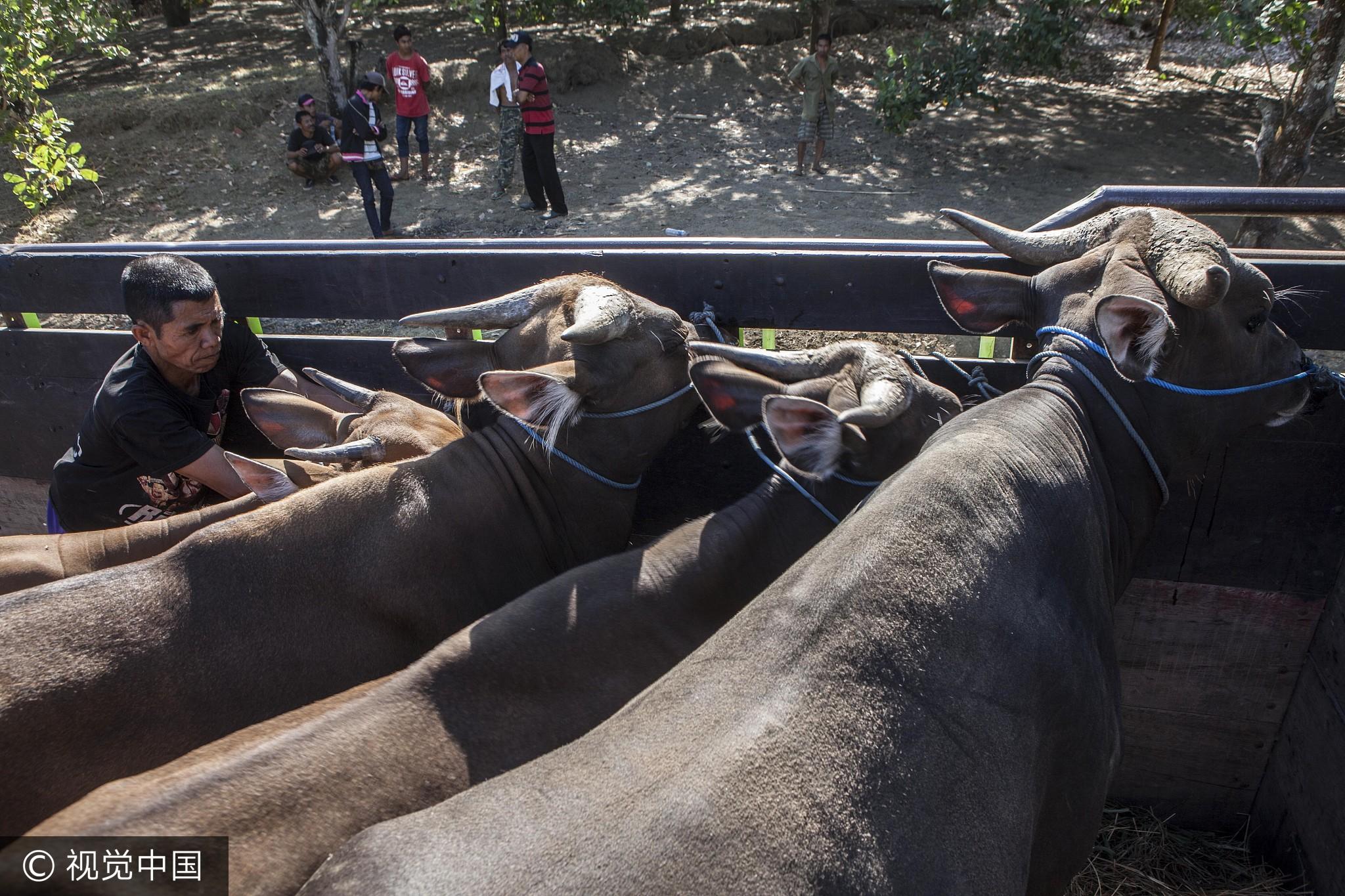 当地时间2017年9月28日,印尼巴厘岛卡朗阿森县,阿贡火山的警戒级别已提升至最高等级,村民转移家禽家畜。据估计,处于火山危险区的大约有3万头牛。大约1万头牛被居民转移,剩下2万头亟待被转移出火山红区。
